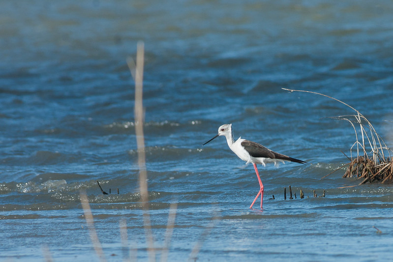 Himantopus himantopus, Black-winged stilt