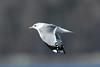 Larus canus (Mew Gull) - Semiahmoo, WA, USA