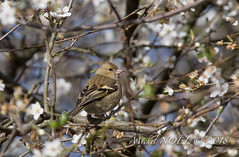 Pinson des arbres - Fringilla coelebs - Common Chaffinch : Michel NOËL © 2018-3150.jpg