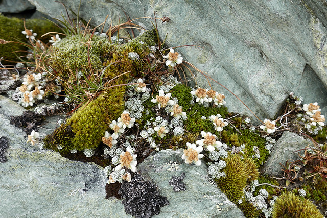 NZ edelweiss