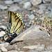 Arizona State Butterfly