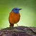 Amber Mountain Rock Thrush by Will Burrard-Lucas | Wildlife