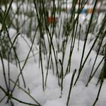 fine horsetail reeds
