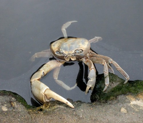 Belize City Crab