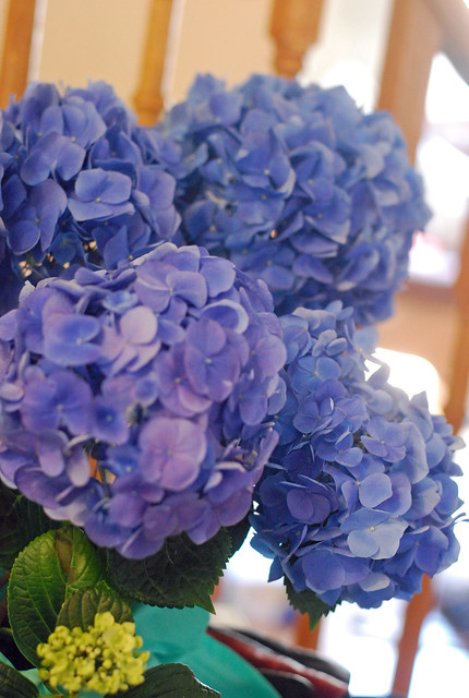 Blue Easter hydrangea pot