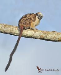 Geoffroy's tamarin monkey - Tamarin de Geoffroy - Tamarino de Geoffroy - Saguinus geoffroyi