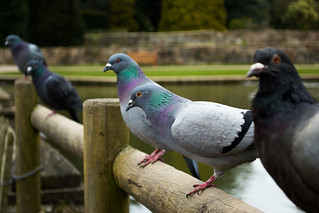 20180322-03_Coombe Abbey Country Park - Pigeons