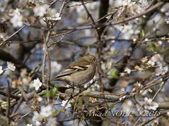 Pinson des arbres - Fringilla coelebs - Common Chaffinch : Michel NOËL © 2018-3149.jpg