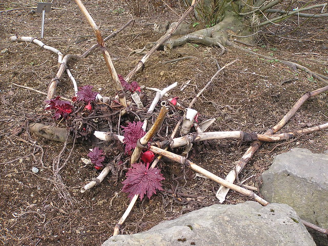 Rheum tanguticum, Reykjavik Botanical Garden
