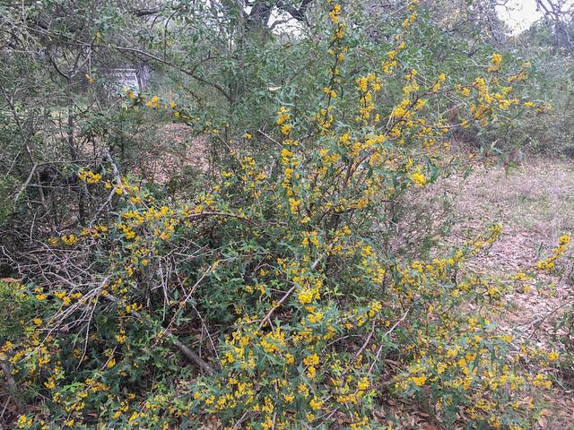 Blooming Agarita