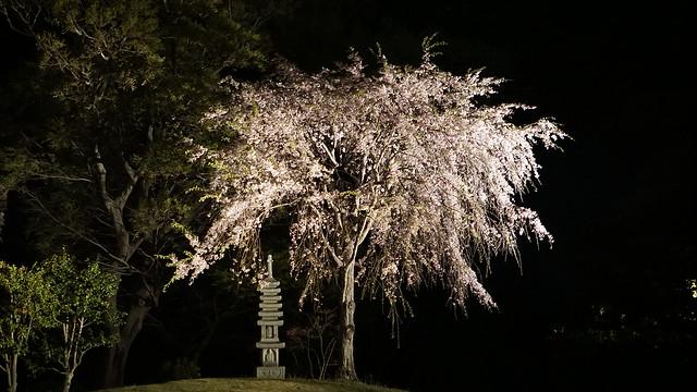 DSC07881三渓園観桜の夕べ