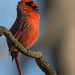 The Cardinal | 2018 - 1 by RGL_Photography