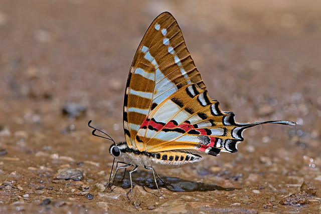 Graphium nomius - the Spot Swordtail