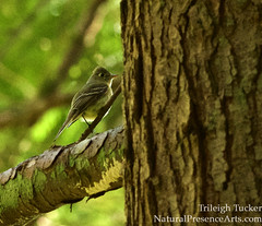 FOY Pacific-slope Flycatcher