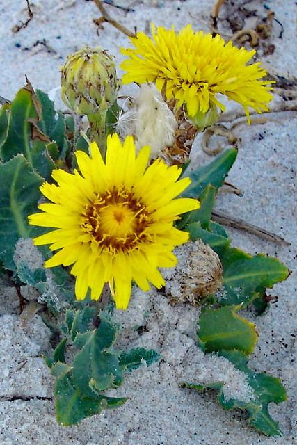 BEACH FLOWER . Reichardia, Sony DSC-P100