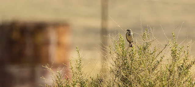 Bell's Sparrow, RICOH PENTAX K-3 II, Sigma 150-500mm F5-6.3 APO DG OS HSM