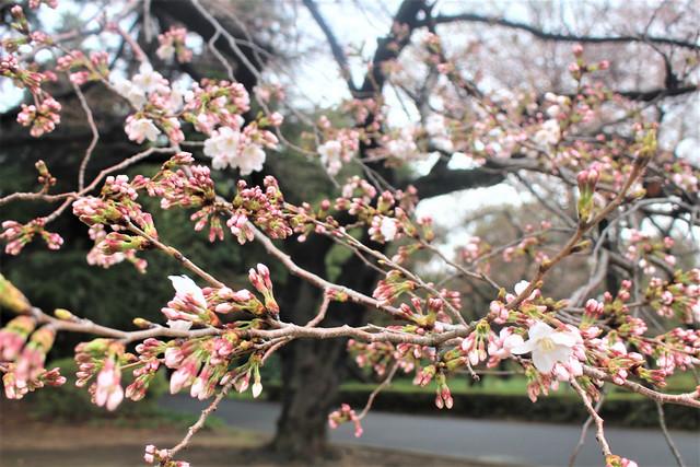 2018年3月20日(火)の新宿御苑の桜開花状況