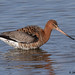 black-tailed godwit 1 2018