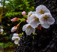 Japan Tokyo Ueno Sakura