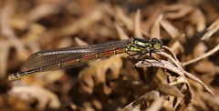Large red damselfly ~ Pyrrhosoma nymphula