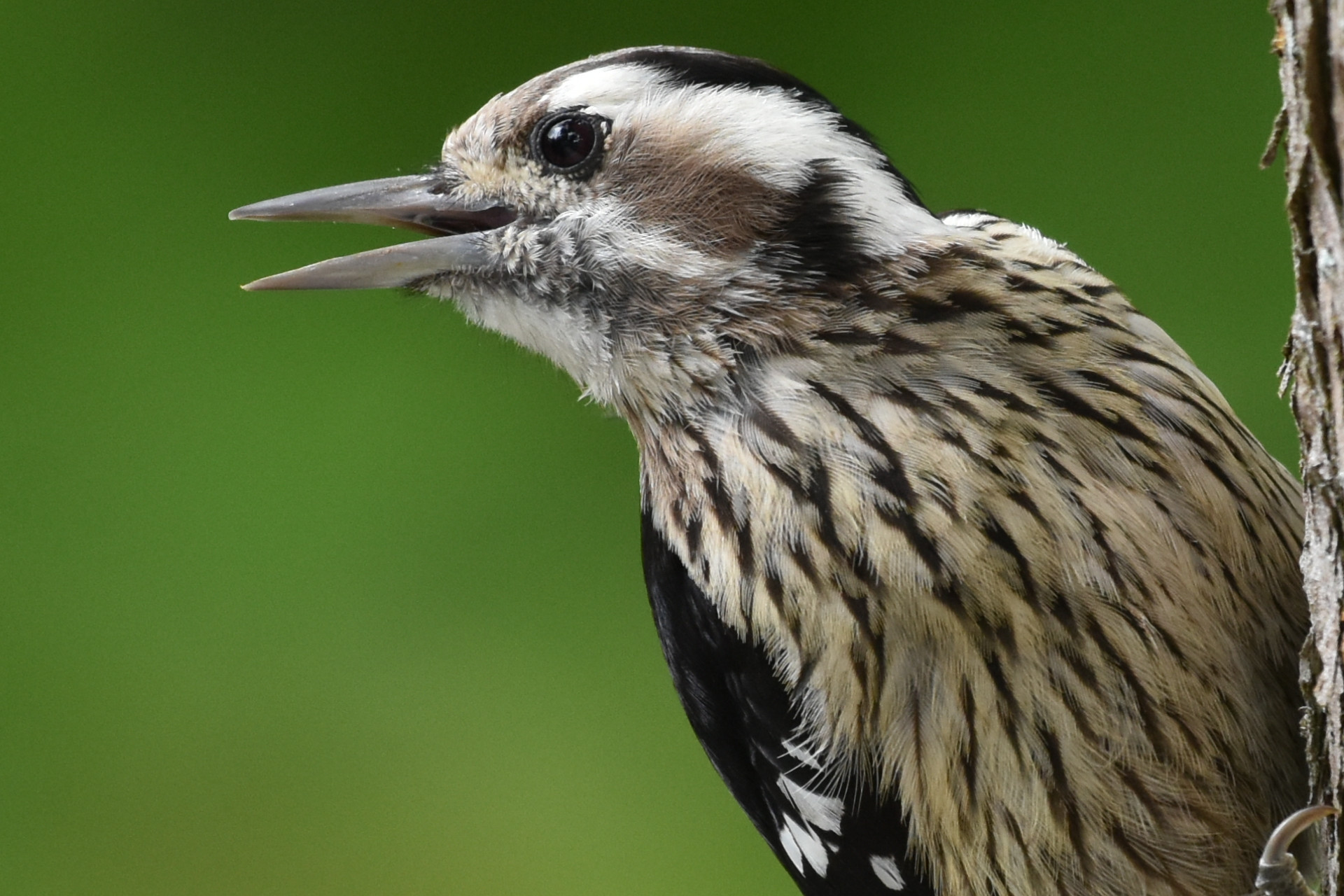 Grey-capped_Pygmy_Woodpecker_9870_o