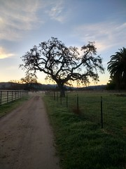 Beautiful old tree at the Ranch