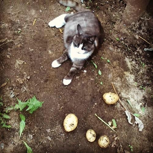 pregnant_cat1