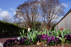 Tulips and violas, National Herb Garden