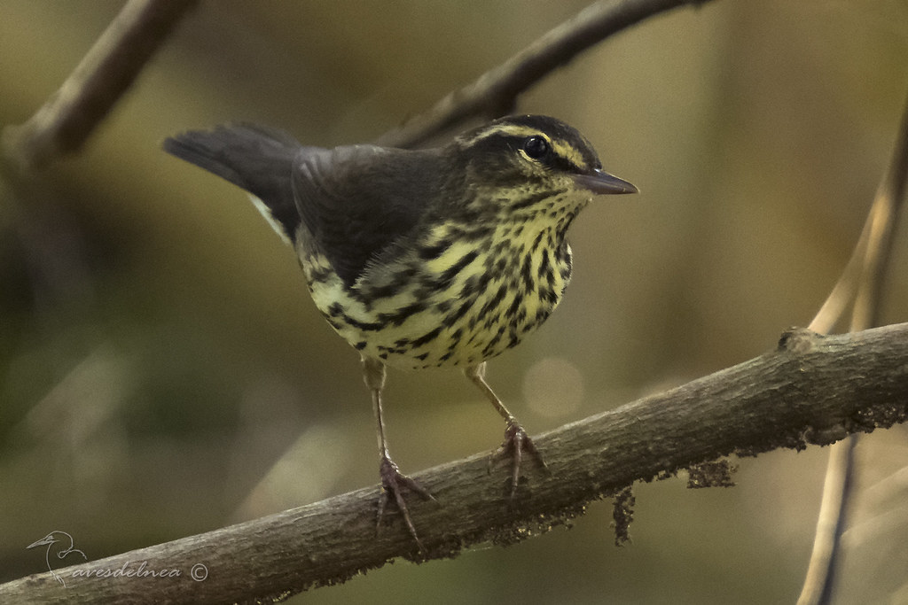 Cigüita de Río – Northern Waterthrush / Parkesia noveboracensis (Gmelin, 1789)