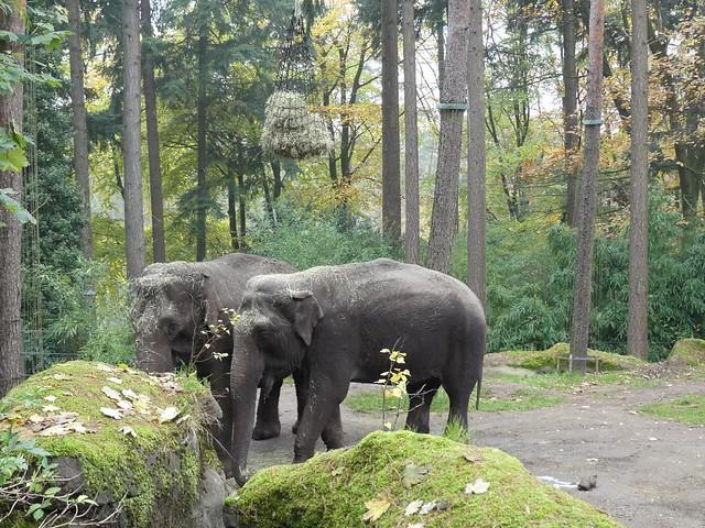 Elefant, Burgers Zoo