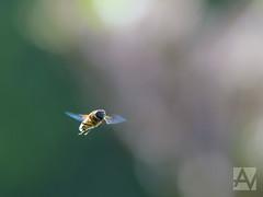 hoverfly - zweefvlieg