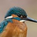 Eisvogel / Kingfisher