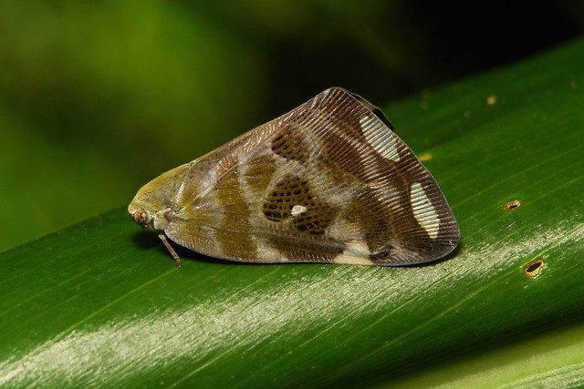 Ricaniid Planthopper (Ricaniidae)