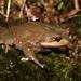 Short-legged Frog (Brachytarsophrys) by cowyeow