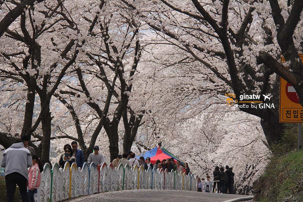 【2020河東十里櫻花路】 韓國釜山 賞櫻必去一日遊 洛東江大渚生態公園一帶美美夜櫻 @GINA環球旅行生活 不會韓文也可以去韓國 🇹🇼