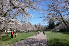 Cherry blossom at the Quad at University of Washington