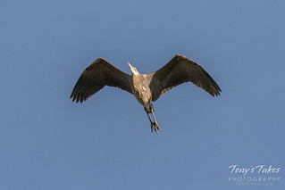 March 25, 2018 - Great Blue Heron flyover