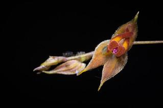 Lepanthes calochroma