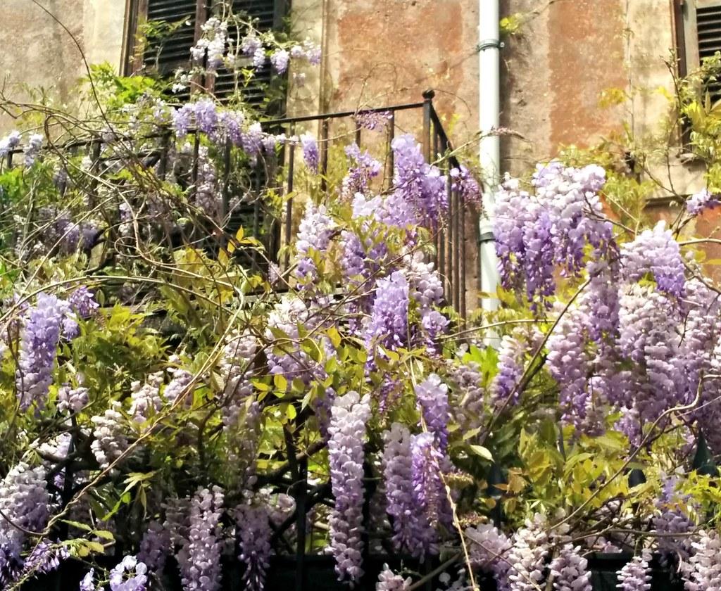Wisteria eli sinisade kukkii huhtikuussa