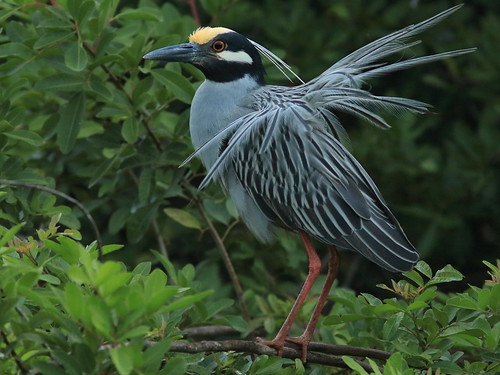 Yellow-crowned Night-Heron Display1 03-20180410
