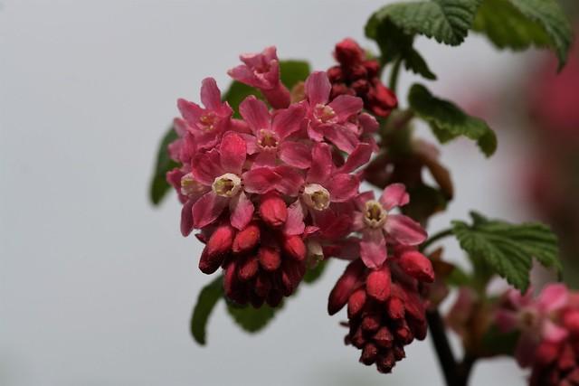 Ribes sanguinium