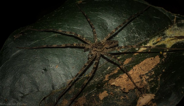 Dolomedes on retreat