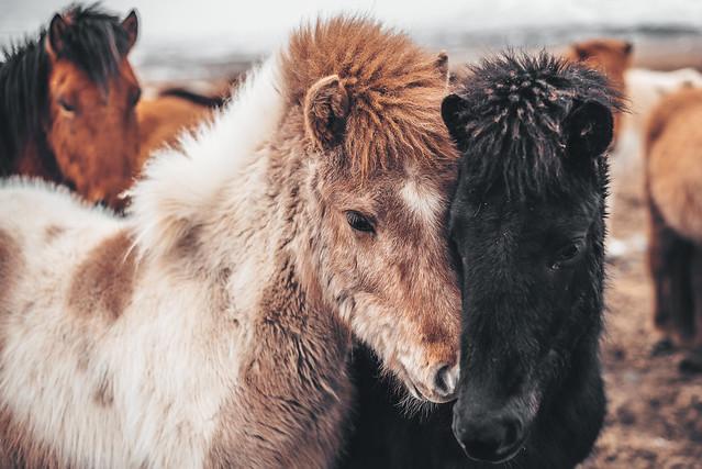 Horses | Iceland 2018 #73/365