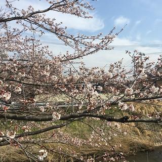 3月26日 矢那川の桜