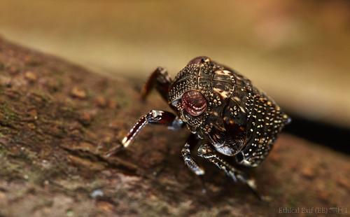Cicadellid nymph