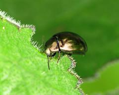 Celery Leaf Beetle - Phaedon cf. tumidulus