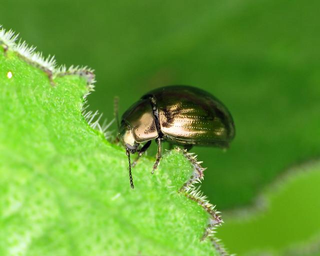 Celery Leaf Beetle - Phaedon tumidulus