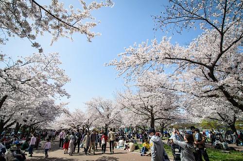 東大路の桜並木