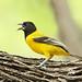 Audubon's Oriole by Matt Buckingham