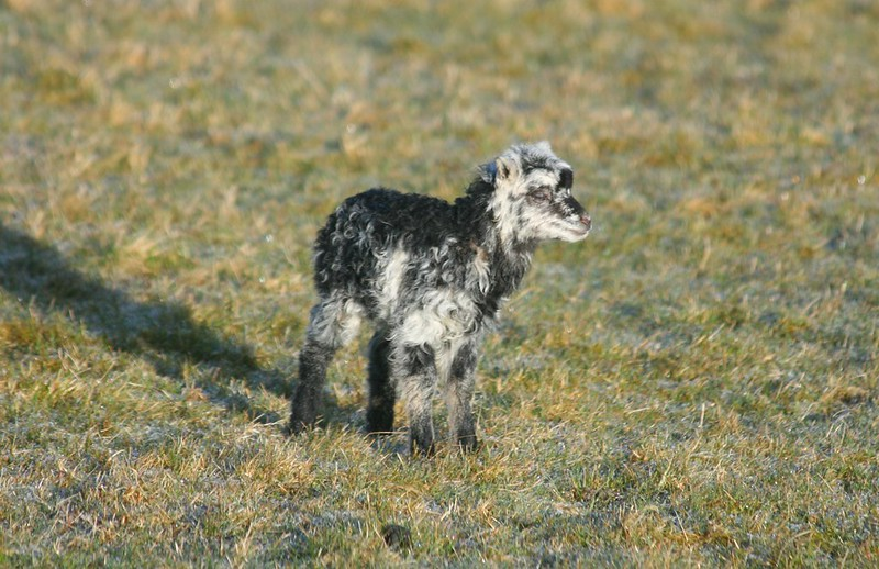 Mottled North Ronaldsay lamb